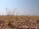 dry grass in the namib