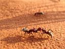 namib dune ant (camponotus detritus)