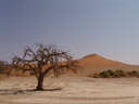 a dead tree in the sossusvlei salt pan