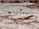 anchieta's dune lizard (aporosaurus anchieta). 2007-09-05, Sony F828.