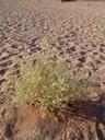 hermannia minimifolia, habitus. 2007-09-05, Sony F828. keywords: sterculiaceae
