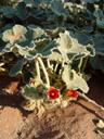 radyera urens. 2007-09-05, Sony F828. keywords: malvaceae