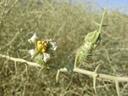 nara (acanthosicyos horridus), flower. 2007-09-05, Sony F828. keywords: cucurbitaceae, benincaseae, benincasinae,