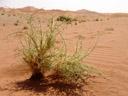 spiny love grass (cladoraphis spinosa), habitus. 2007-09-05, Sony F828. keywords: poaceae, chloridoideae, cynodonteae, ostrich grass