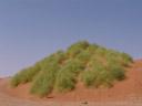 nara (acanthosicyos horridus), habitus. 2007-09-05, Sony F828. keywords: cucurbitaceae, benincaseae, benincasinae,