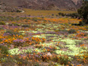 geogap nature reserve - a desert for about 48 weeks a year, a sea of flowers for about 4. 2007-09-08, Sony F828.