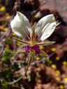 geranium praemorsum, one of the many wild geranium species we found.. 2007-09-09, Sony F828.