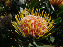protea (leucospermum conocarpodendron x glabrum). 2007-09-17, Sony F828. keywords: proteaceae, gelb, yellow, hairy