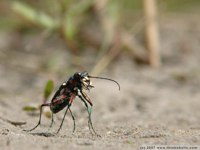 northern dune tiger beetle (<i>cicindela hybrida</i>)