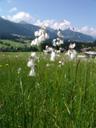 cottongrass (eriophorum sp.). 2008-06-10, Sony F828.