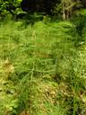 wood-horsetail (equisetum sylvaticum). 2008-06-10, Sony F828. keywords: scouring rushes, schachtelhalm