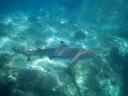 blacktip reef shark (carcharhinus melanopterus). 2008-08-25, Pentax W60. keywords: carcharhiniformes, carcharhinidae, requiemhaie,
