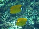 hongkong butterfly fish (chaetodon wiebeli). 2008-08-25, Pentax W60. keywords: hong kong-fanefisk, panda butterflyfish, tsuki-chôchô-uo