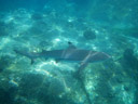 blacktip reef shark (carcharhinus melanopterus). 2008-08-25, Pentax W60. keywords: galeomorphii, carcharhiniformes, carcharhinidae, grundhaie, requiemhaie