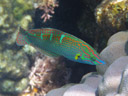 orange-tipped rainbowfish (halichoeres melanurus). 2008-08-26, Pentax W60. keywords: platyglossus melanurus, labridae, barugudun, buntogon, hoeven's wrasse, kazari-kyûsen, koilauko, koja, labayan, lubayan, lulukdayan, mameng, mul-mul, pinstriped wrasse, sugale, tail-spot wrasse, tailspot wrasse, three-eyed wrasse, yellow-tailed wrasse, yellow-lined wrasse, dusky rainbow fish, blaugrüner junker, lippfisch, grüngestreifter lippfisch