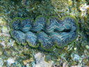 crocus giant clam (tridacna crocea). 2008-08-28, Pentax W60. keywords: tridacnidae, crocus clam, saffron-coloured clam