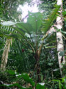banana plant (musa sp.) in the rainforest