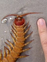 giant scolopender (scolopendra subspinipes dehaani) with poison claws (forcipules). 2008-09-06, Sony F828.