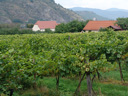 vineyard, wachau