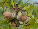 ripe walnuts