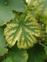 bicoloured vine leaf
