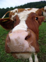 wideangle-closeup picture of another cow