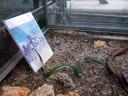 welwitschia (welwitsciha mirabilis), botanical garden. 2008-11-18, Pentax W60. keywords: gnetopsida, welwitschiales, welwitschiaceae