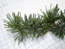 atlas cedar (cedrus atlantica), spur shoots with 10 to 30 needles, blue-green in colour