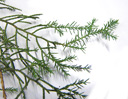 eastern juniper (juniperus virginiana), both needle-type and shingle-type leaves on one shoot