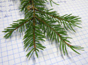 norway spruce (picea abies), pointy leaves (needles) with a brown, stalked contact point which is formed by the shoot