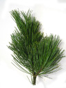 swiss stone pine (pinus cembra), leaves (needles) triangular, whorls of 5