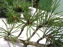 swiss mountain pine (pinus mugo s.str.), leaves (needles) half-round, whorls of 2 in short shoots