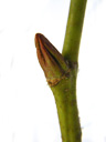 plane tree (platanus acerifolia), axillary bud, buds longitudinally furrowed