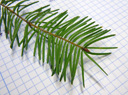douglas-fir (pseudotsuga sp.), twig with single, alternate leaves (needles)