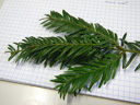 english yew (taxus baccata), stalked leaves (needles), decurrent