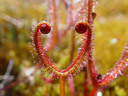 happy valentine's day!. 2009-02-14, Sony F717. keywords: drosera binata