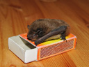 nathusius' pipistrelle (pipistrellus nathusii) and matchbox for measure. 2009-03-23, Sony F828. keywords: microbat, bat, fledermaus, microchiroptera, zündholzschachtel