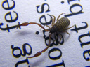 book scorpion (chelifer cancroides). 2009-04-17, Pentax W60. keywords: house pseudoscorpion, pseudoskorpion