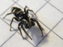 male zebra spider (salticus scenicus). 2009-04-28, Pentax W60. keywords: salticidae, springspinnen
