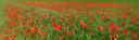 panorama: corn field with poppy (papaver rhoeas)