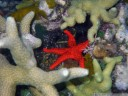 "red bali star (fromia milleporella), a small red starfish with small black spikes. snorkelling at ""susan"", near bomba."