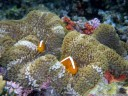 orange skunk clownfish (amphiprion sandaracinos), trying to hide in their anemone in the midst of a beautiful, colourful reefscape.