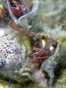 hairy red hermit crab (dardanus lagopodes)