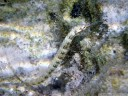scribbled pipefish (corythoichthys intestinalis)