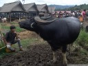 water buffalos at the livestock market (pasar bolu, rantepao, sulawesi)