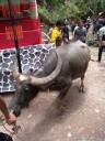 a water buffalo is led to the center of the site (torajan funeral ceremony)