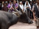 the water buffalo to be sacrificed (torajan funeral ceremony)