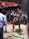 traditional water buffalo sacrifice (torajan funeral ceremony)