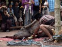 some of the water buffalo's blood is collected (torajan funeral ceremony)