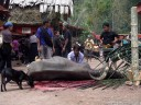 water buffalo sacrifice (torajan funeral ceremony)